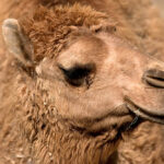 botox for camels